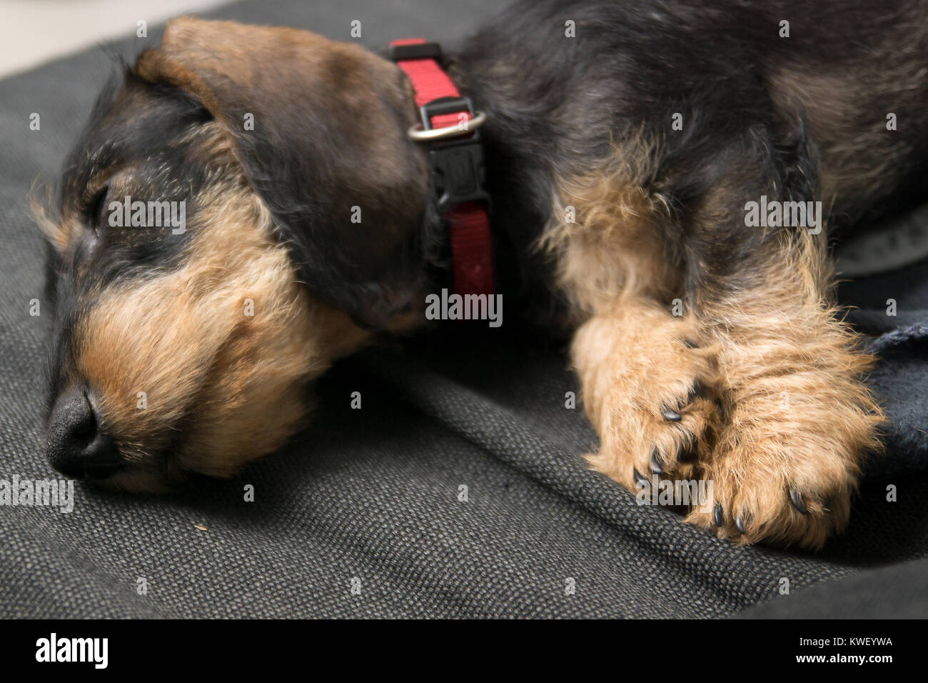 Wire Haired Miniature Dachshund Puppy Rudi Sleeping On A Grey Blanket Stock Photo Alamy