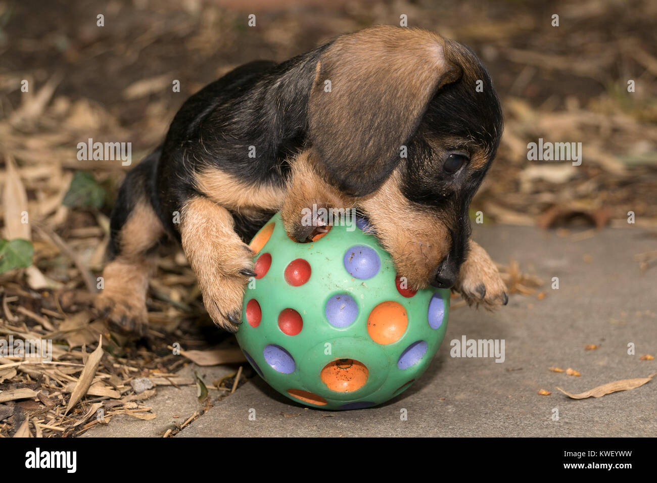 Wire haired miniature dachshund puppy Rudi chewing on a ball Stock ...
