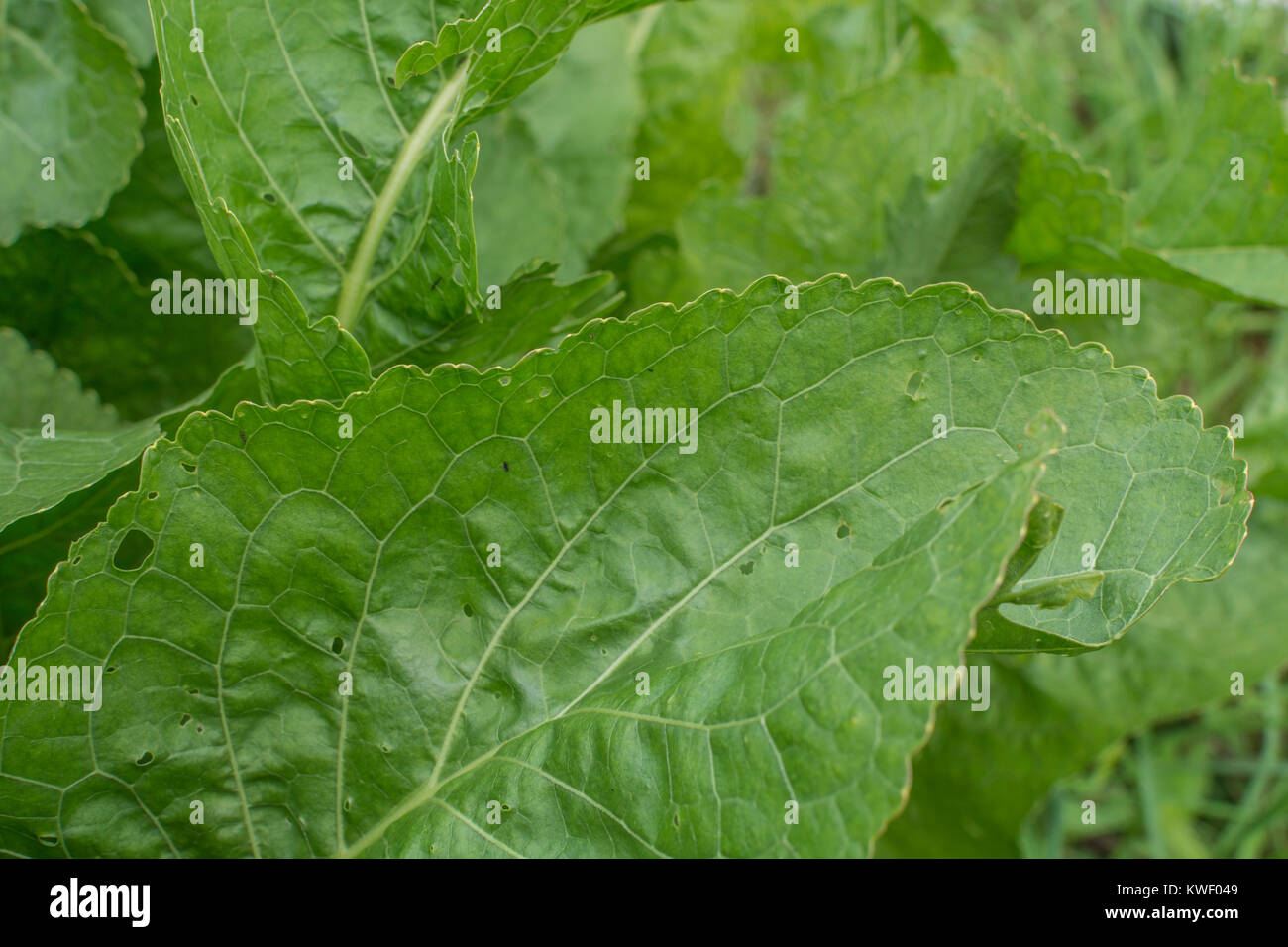 Close-up of the green leaves / foliage of Horseradish / Armoracia rusticana growing - the condiment used with beef. - Stock Image