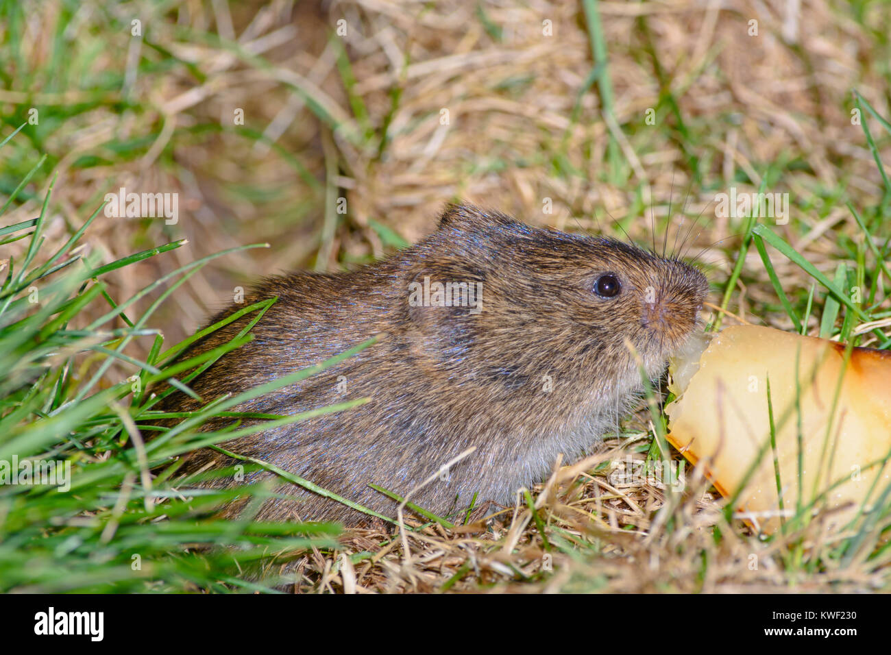 Meadow Vole eating piece of pear fruit near it's grassy runway, Colorado US - Stock Image