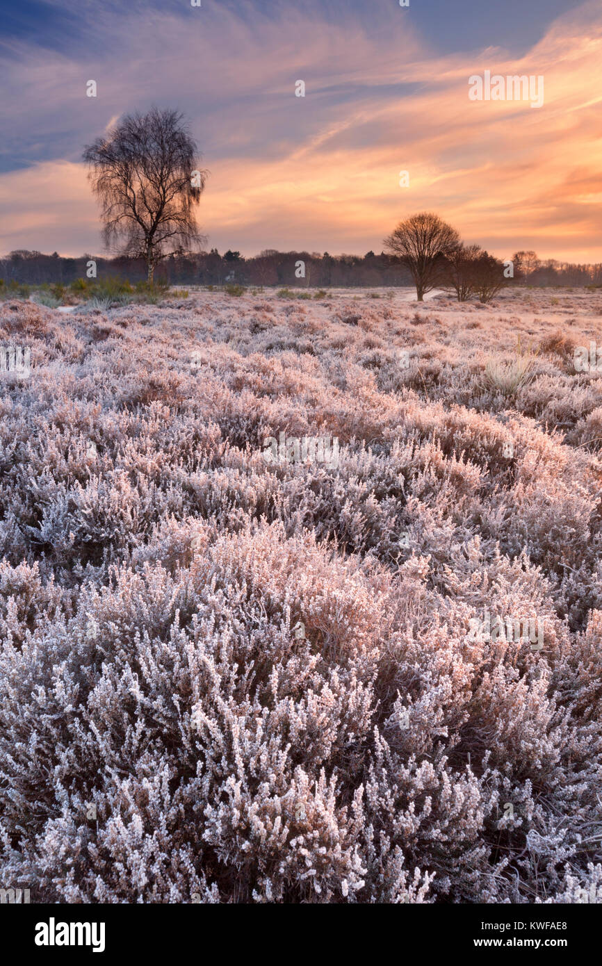 Frosted heather in winter, photographed at sunrise near Hilversum in The Netherlands. Stock Photo
