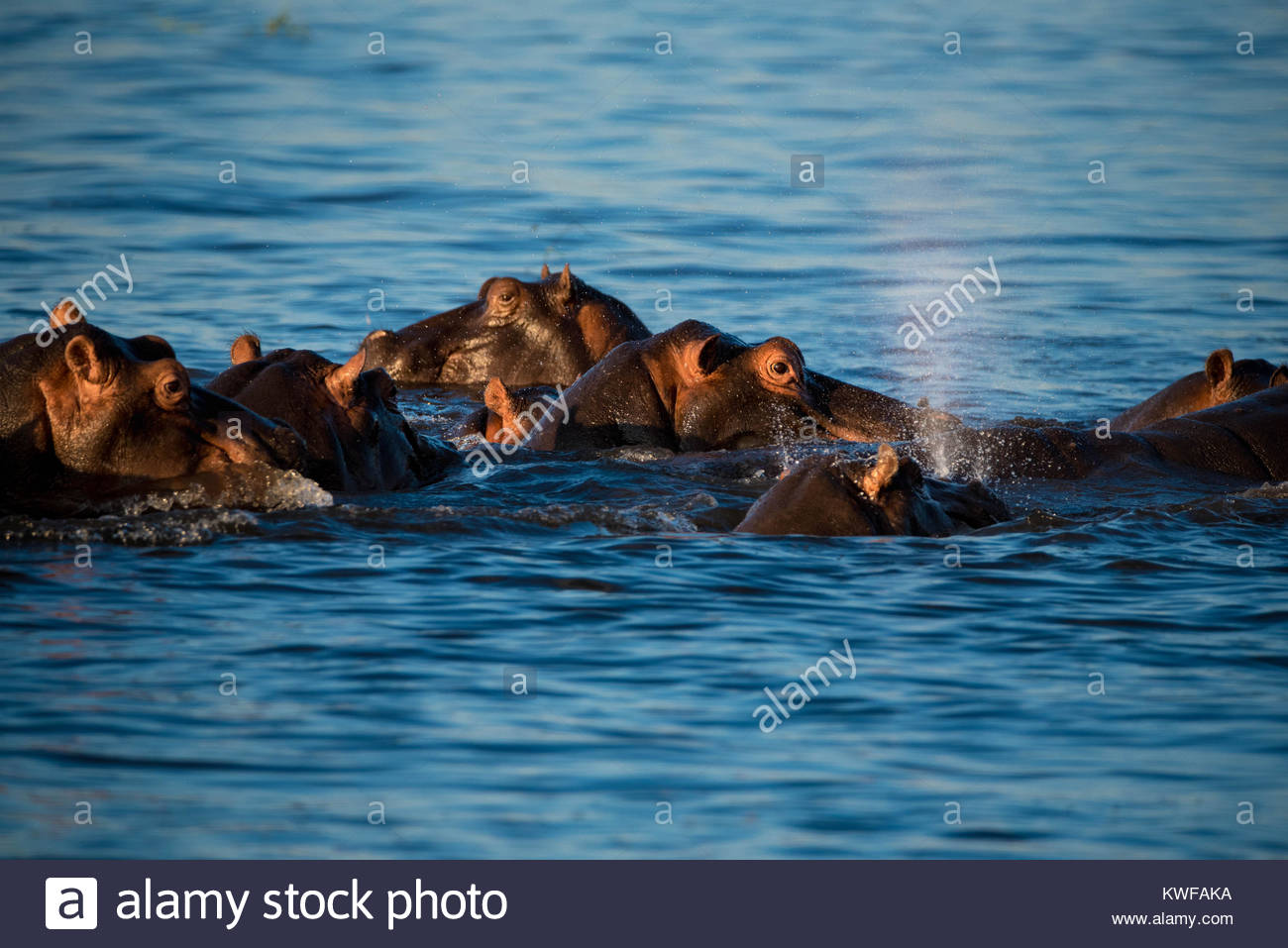 A group of hippo relax in Chobe River Stock Photo