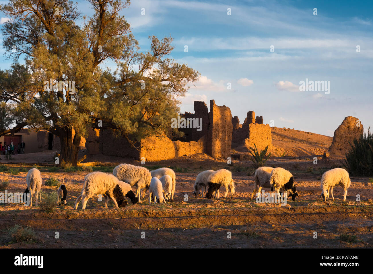 Sheep grazing in idyllic environs of Kasbah at sundown. - Stock Image