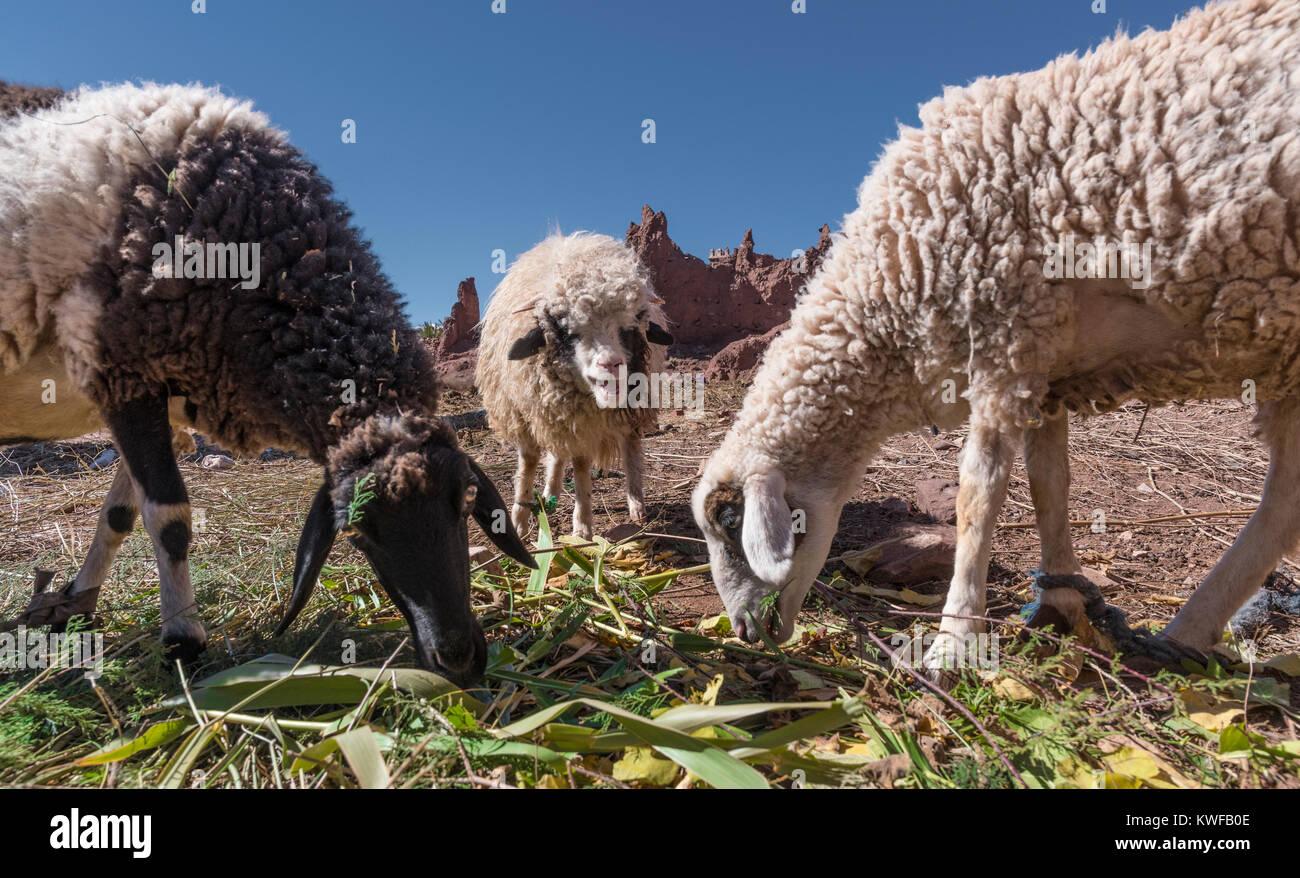 indigeneous Moroccan sheep feeding - Stock Image