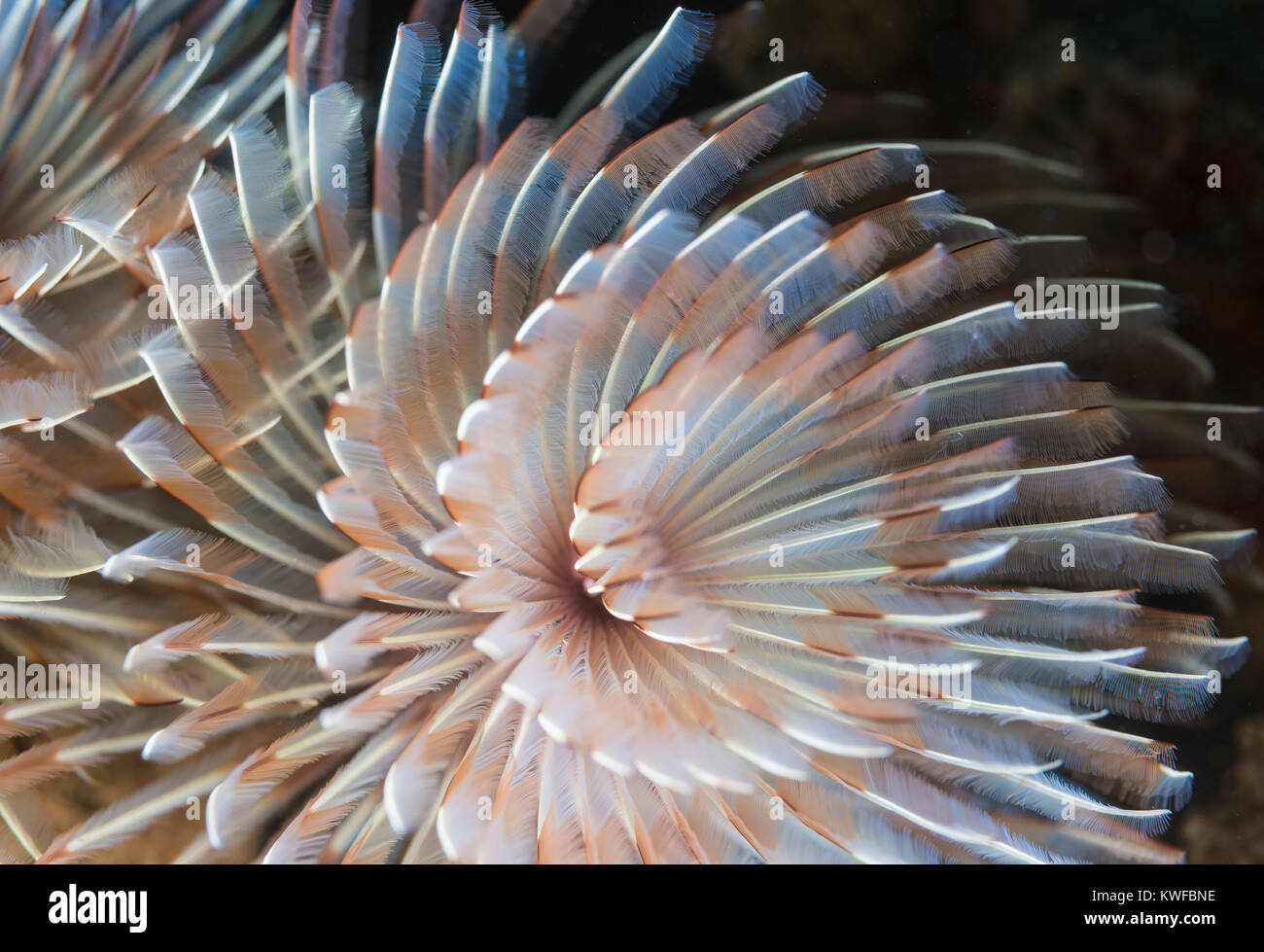 Detail of a tube-dwelling anemone - Stock Image