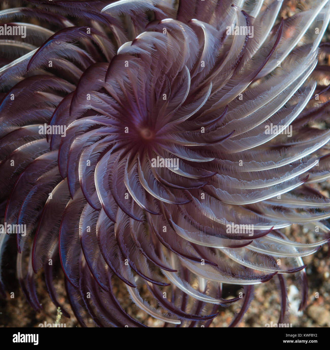 Feather duster tube worm swaying in the current Stock Photo