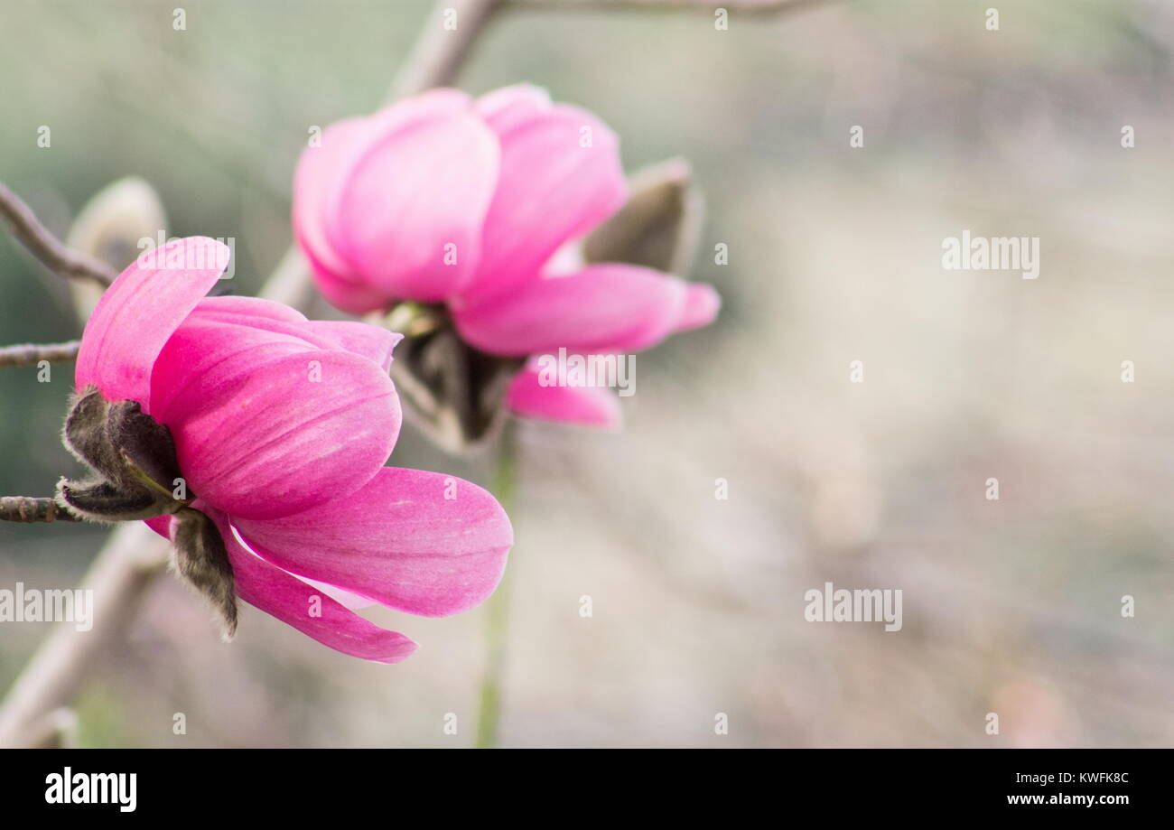 Pink magnolia flower close up stock photos pink magnolia flower close up image of pink magnolia flowers in a winter garden stock image mightylinksfo