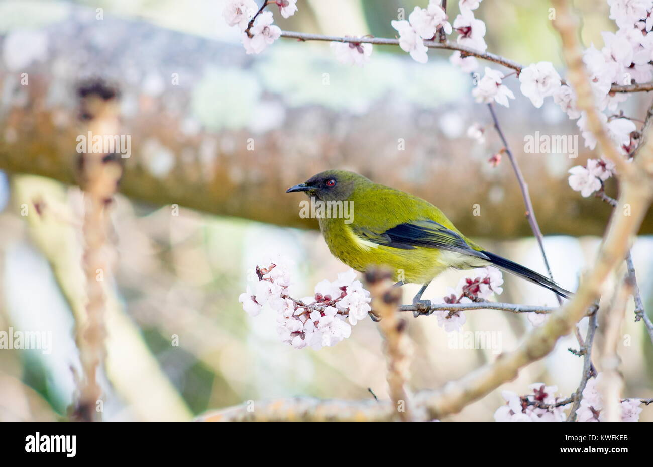 3751418f4 The New Zealand bellbird, also known by its Māori names korimako and  makomako, is a passerine bird endemic to New Zealand.