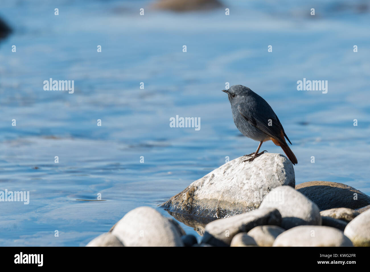 The plumbeous water redstart is a passerine bird standing on a rock near river - Stock Image