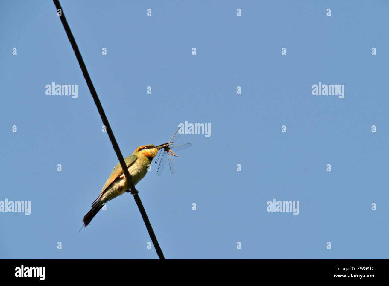 Rainbow bee-eater, Merops ornatus, on a powerline with a freshly caught dragonfly, Townsville, Queensland, Australia - Stock Image