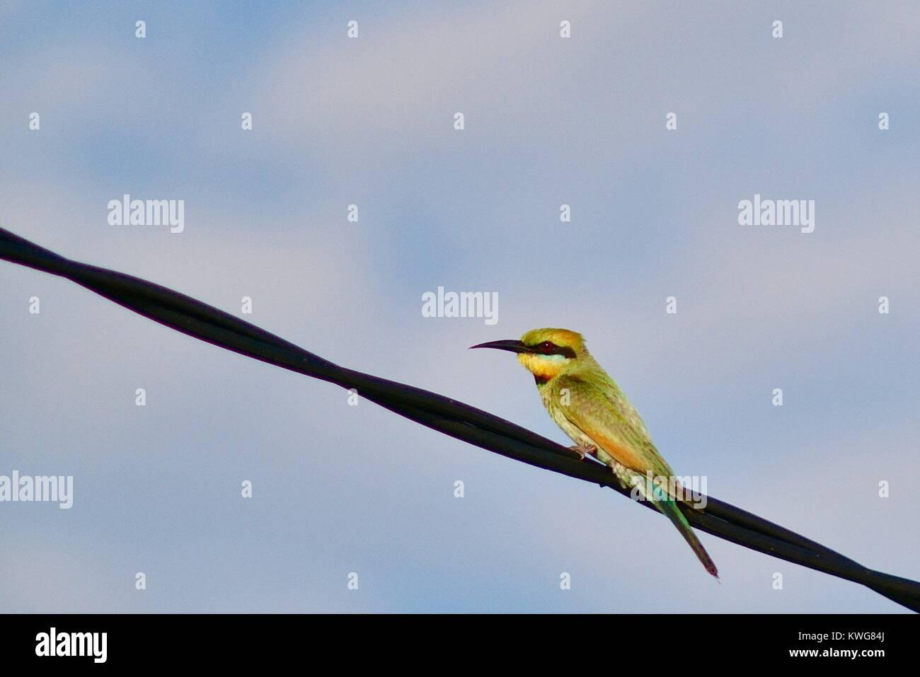 Rainbow bee-eater, Merops ornatus, on a powerline, Townsville, Queensland, Australia - Stock Image