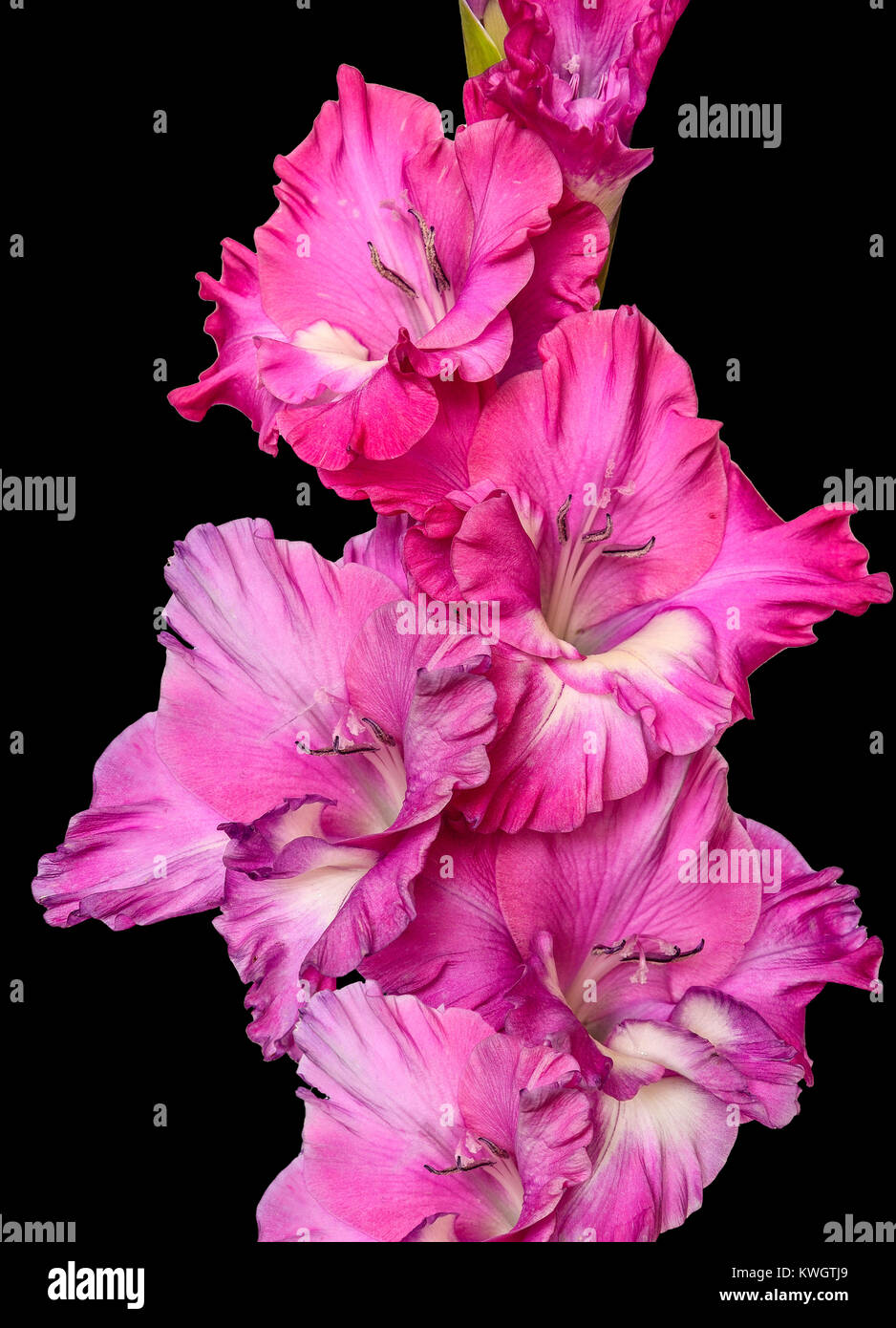 Single gentle pink gladiolus flower close up, isolated on a black background - Stock Image