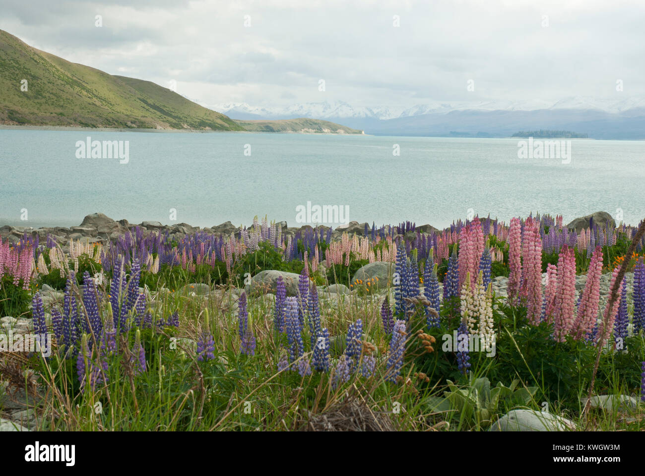 Stunning and colourful landscape of Lake Tekapo, Spring/ Summer, with blue lake surrounded by snow capped mountains Stock Photo