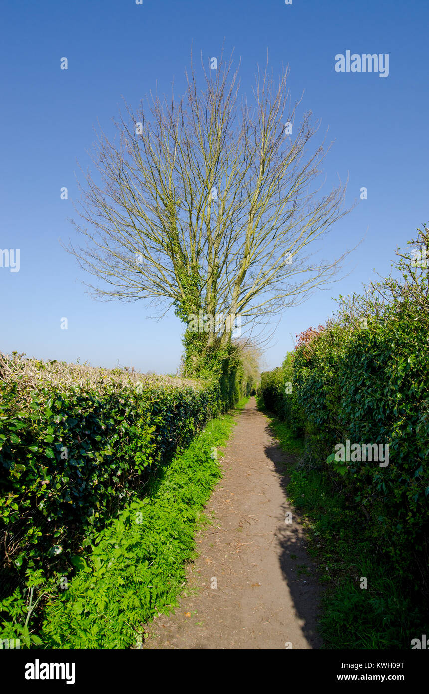 Boughton Monchelsea village, Kent, England. Public footpath between orchards bound by hedges - Stock Image