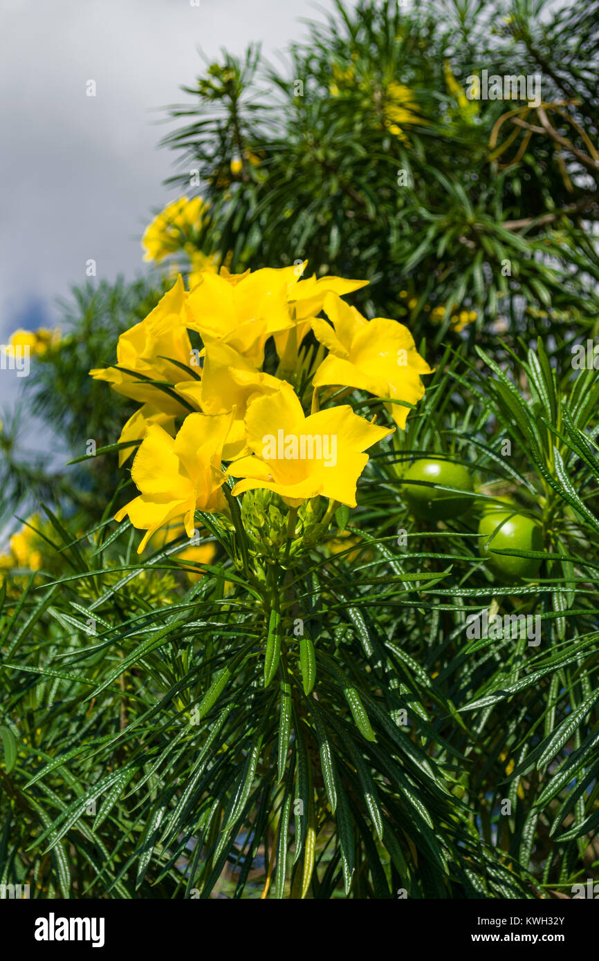 Yellow oleander stock photos yellow oleander stock images alamy bright yellow flowers and green fruit of the cascabela thevetia or thevetia peruviana tree kenya mightylinksfo