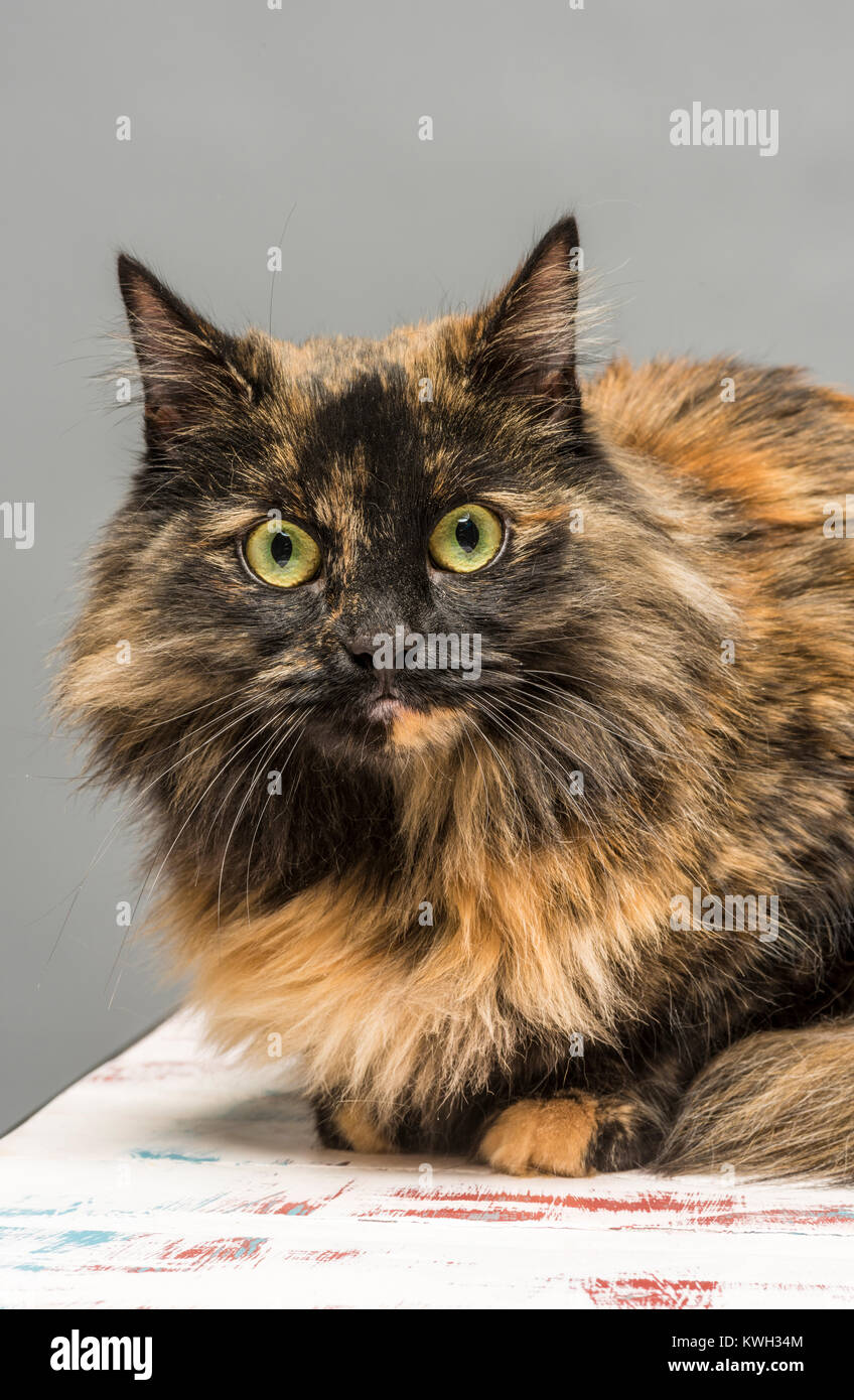 Long haired domestic tabby cat - Stock Image