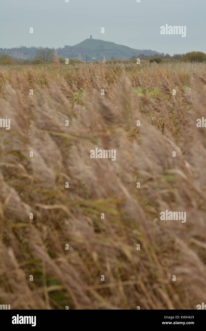 Norfolk Reed Stock Photos Amp Norfolk Reed Stock Images Alamy