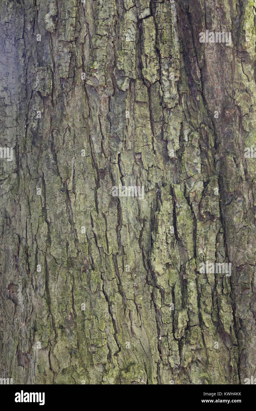 Gewöhnliche Rosskastanie, Rosskastanie, Ross-Kastanie, Kastanie, Rinde, Borke, Stamm, Baumstamm, Aesculus hippocastanum, - Stock Image