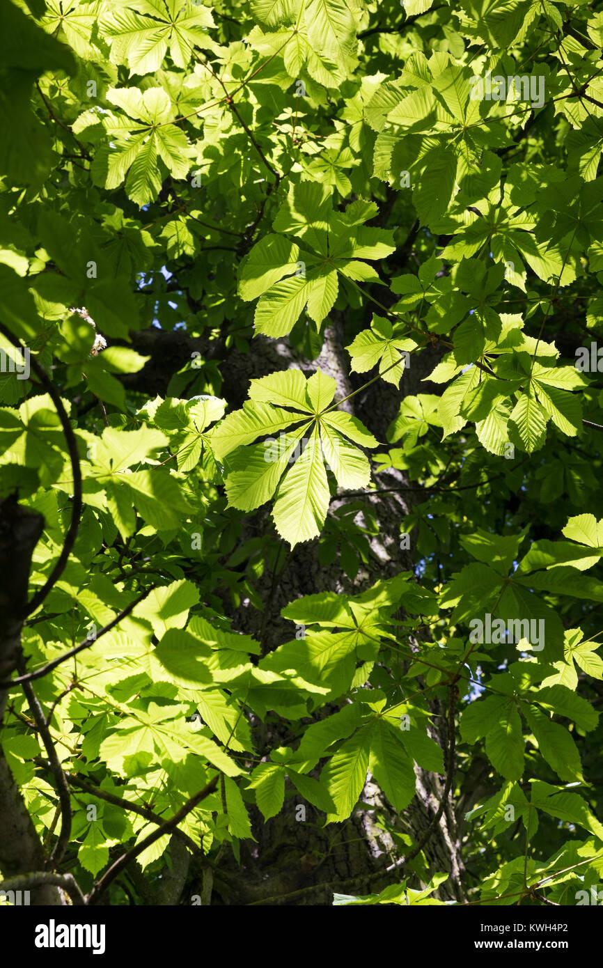Gewöhnliche Rosskastanie, Rosskastanie, Ross-Kastanie, Kastanie, Blick in Baumkrone, Blätterdach, Blatt, - Stock Image