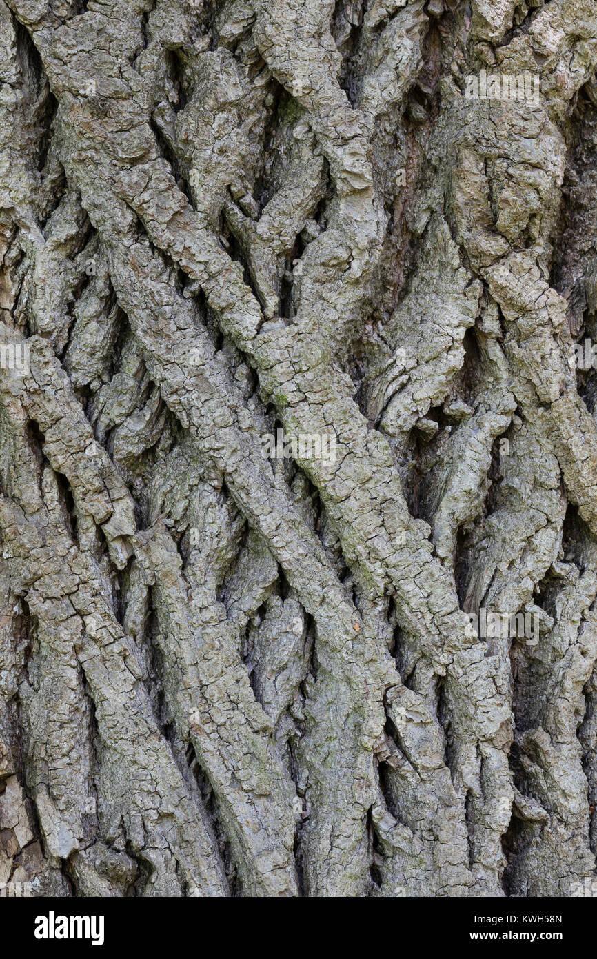 Sommer-Linde, Sommerlinde, Rinde, Borke, Stamm, Baumstamm, Linde, Tilia platyphyllos, Tilia grandifolia, large-leaved Stock Photo