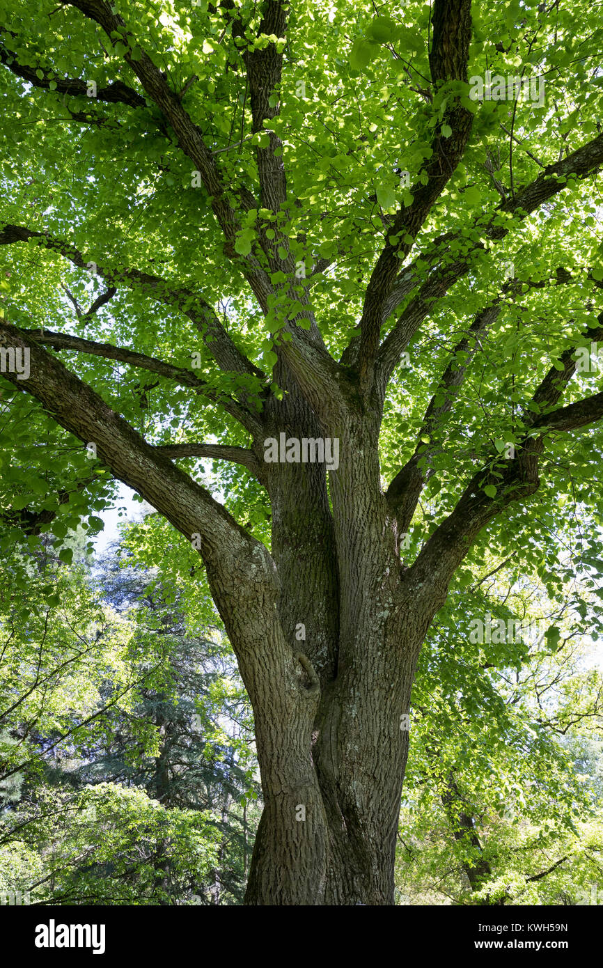 Sommer-Linde, Sommerlinde, Linde, Blick ins Blätterdach, Baumkrone, Tilia platyphyllos, Tilia grandifolia, large Stock Photo