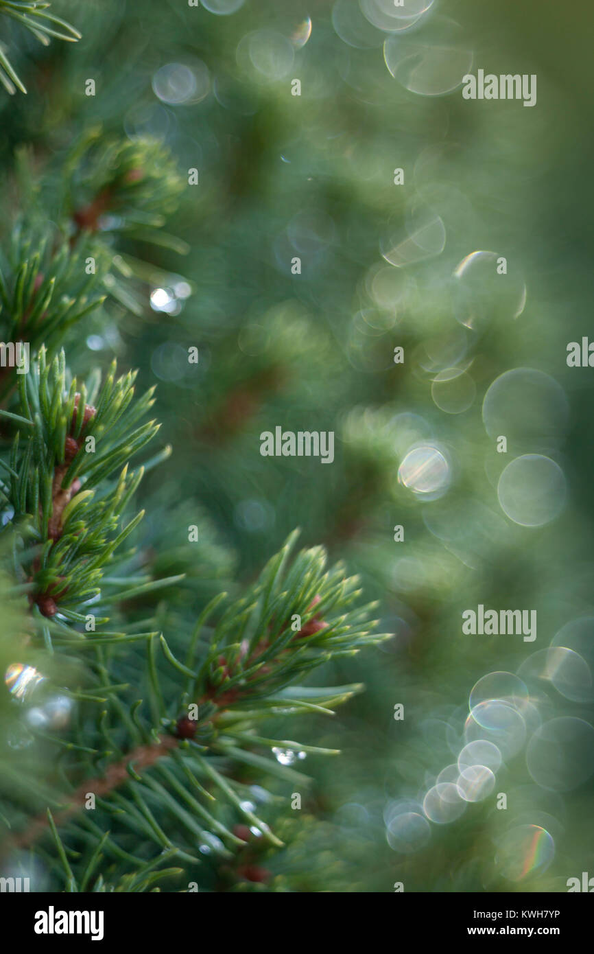 Spruce branch closeup with nice bokeh effect - Stock Image