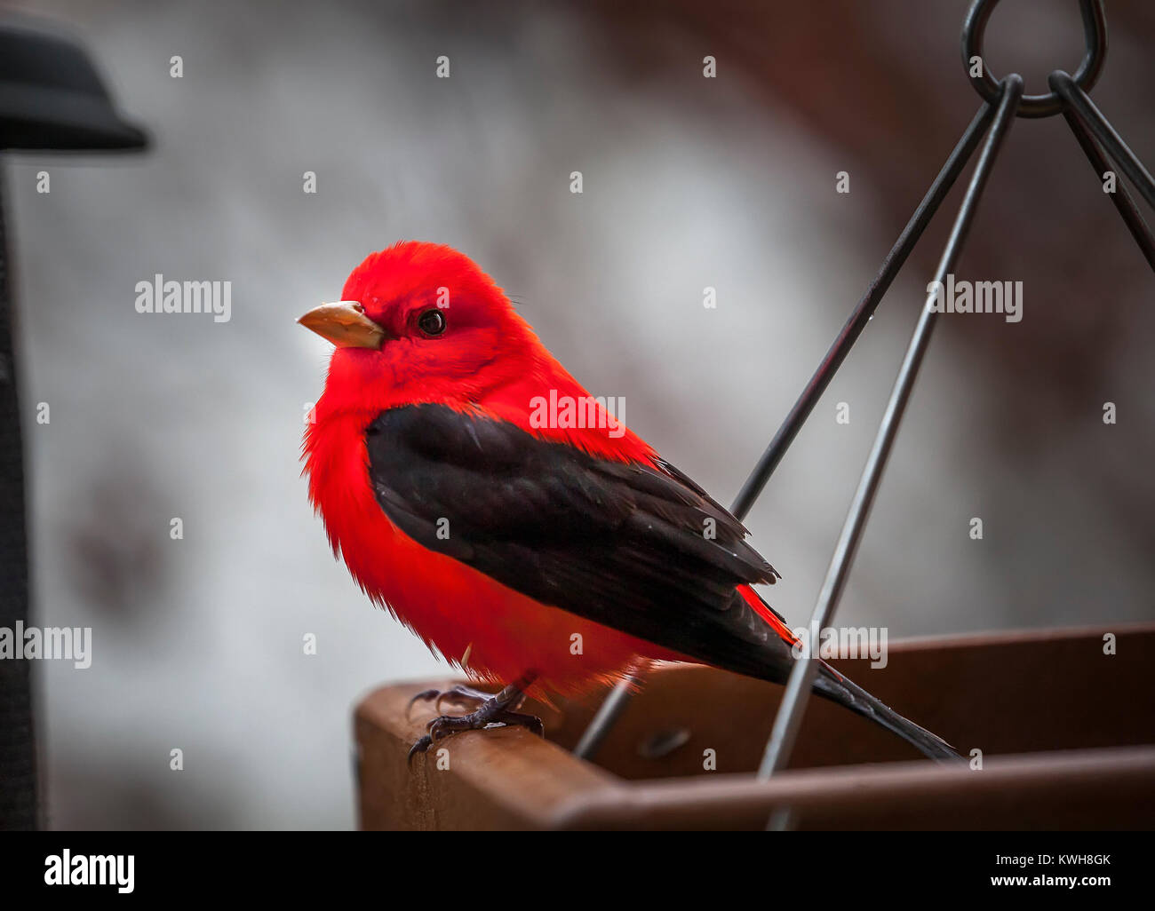 A lone adult male Scarlet Tanager, Piranga olivacea, is perched on a home platform feeder. This songbird is notable - Stock Image