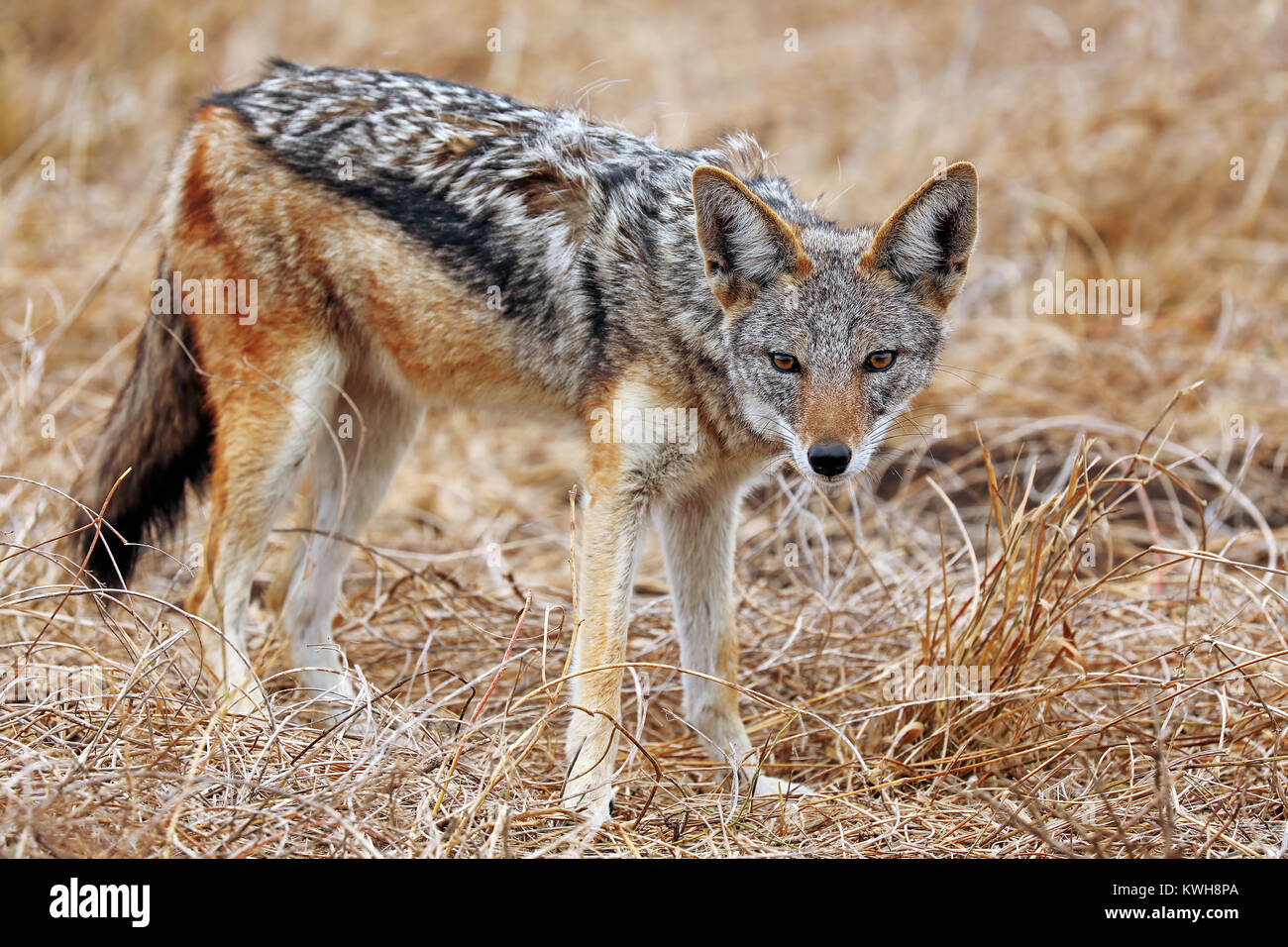 Schabrackenschakal im Kruger Nationalpark Südafrika; blackbacked Jackal, south africa, wildlife - Stock Image