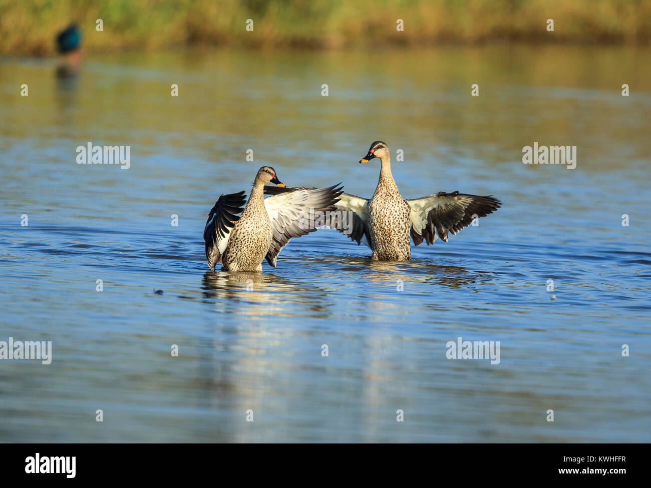 The Indian spot-billed duck is a large dabbling duck which is a non-migratory breeding duck throughout freshwater Stock Photo
