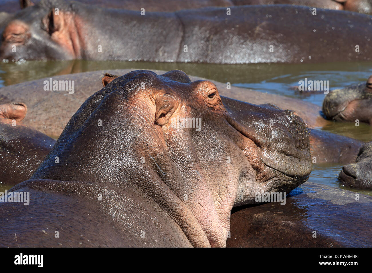 The common hippopotamus, or hippo, is a large, mostly herbivorous, semiaquatic mammal native to sub-Saharan Africa - Stock Image