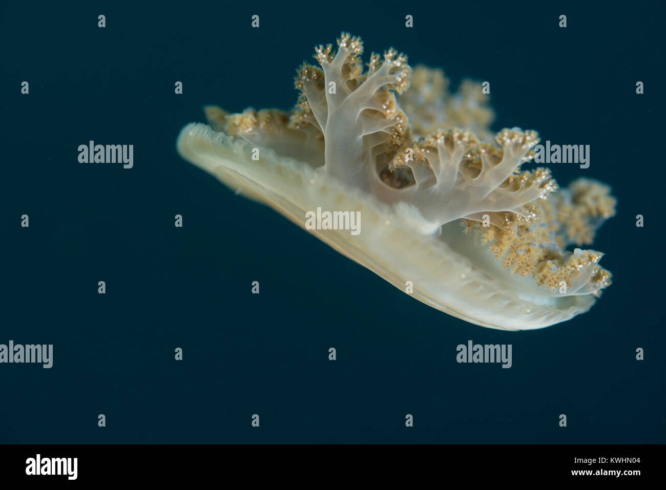 Upside-down jellyfish moving through the water - Stock Image