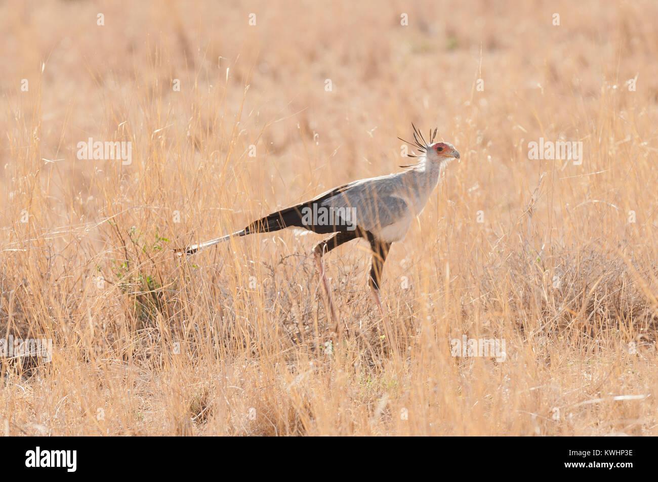 Secretarybird (Sagittarius serpentarius) in Tarangire National Park Stock Photo