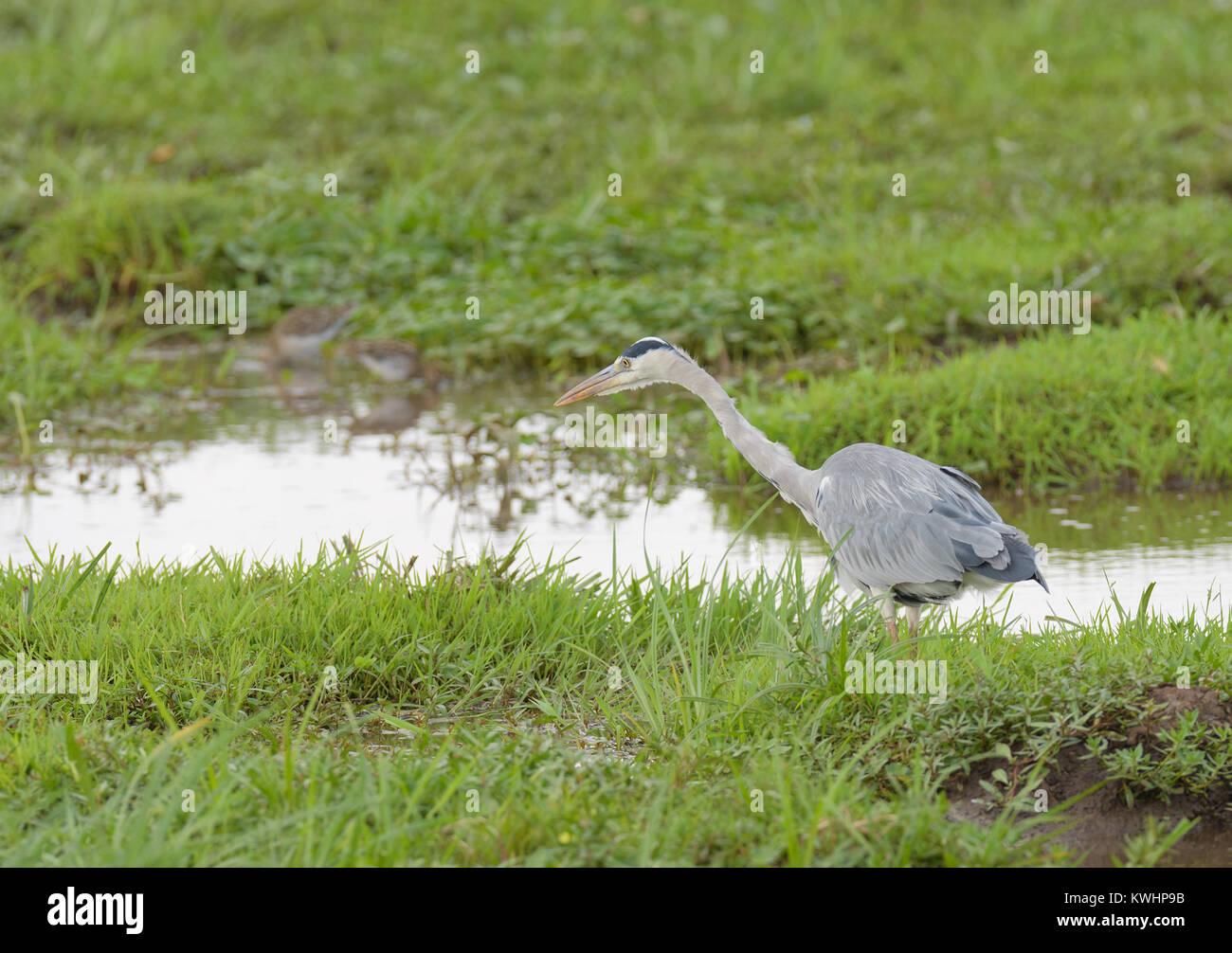 Gray or Grey Heron (ardea cinerea) in Lake Manyara National Park - Stock Image
