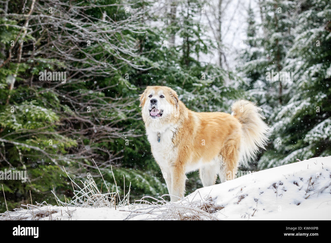 Large mixed breed dog on a winter day, Ontario, Canada. - Stock Image