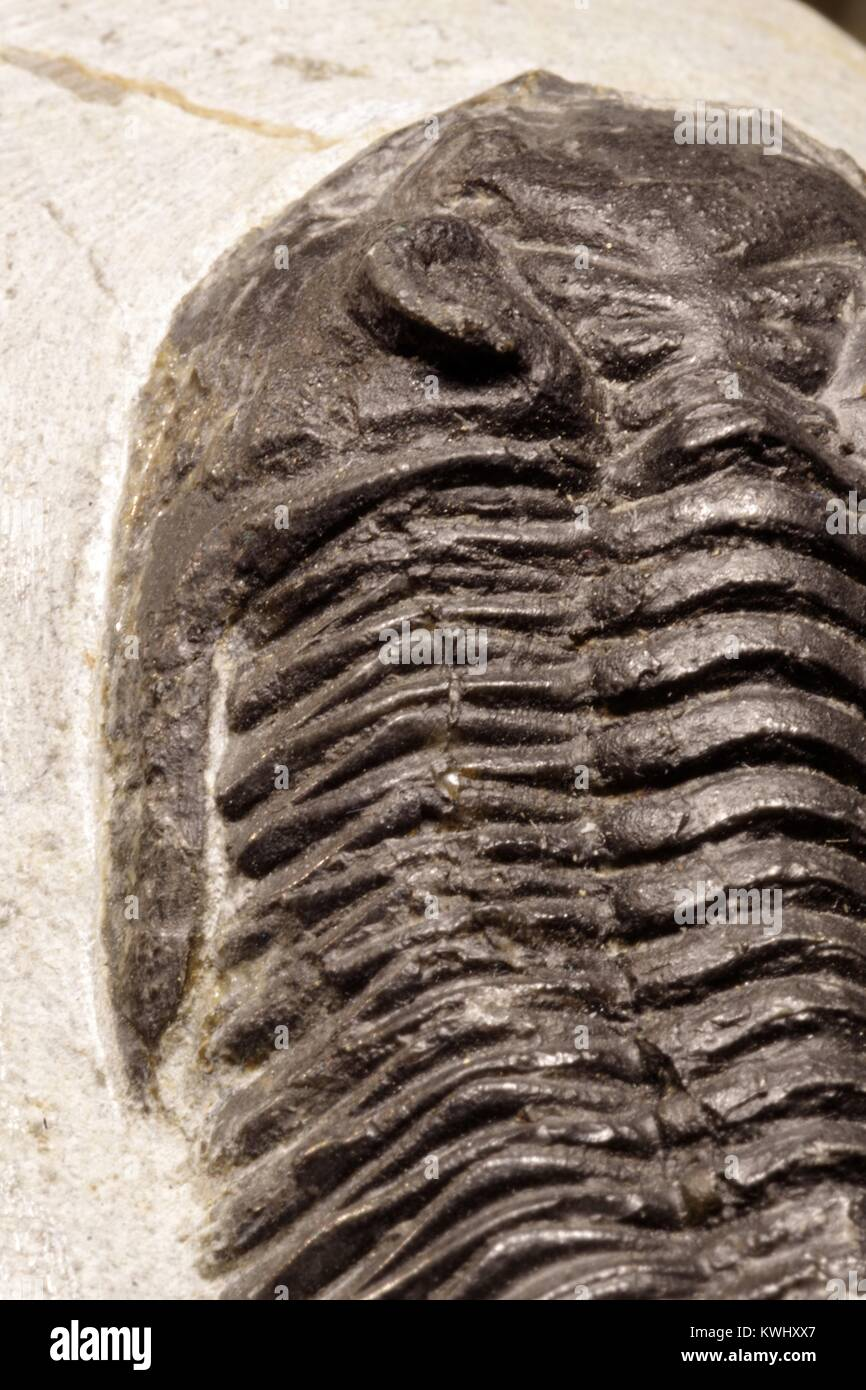 Proteus Trilobite Fossil from Morocco. Geological Palaentological Sample, Extinct Species of Arthropod, Macro Photo. - Stock Image