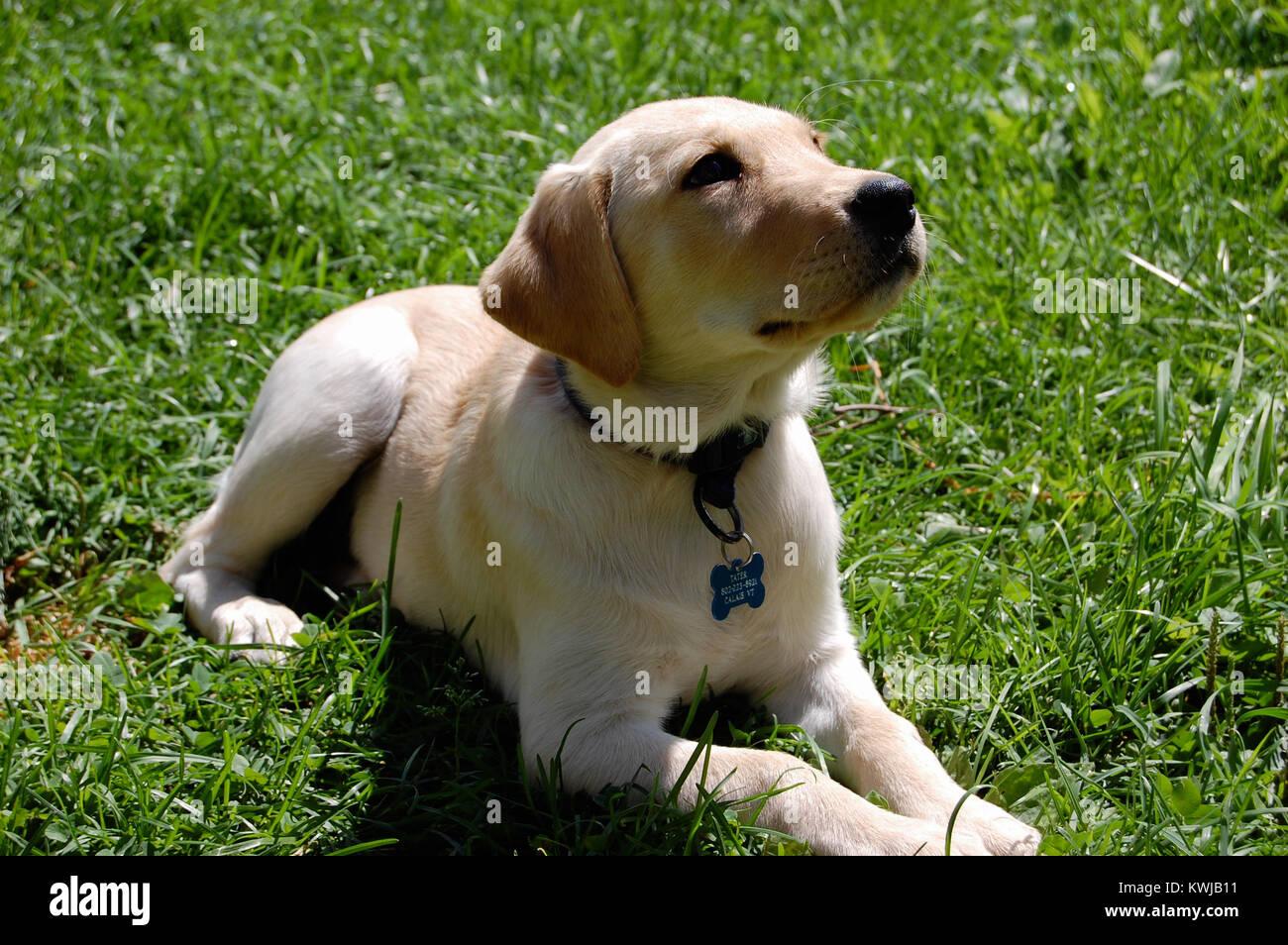Welpen labrador sennenhund mix Berner Sennenhund