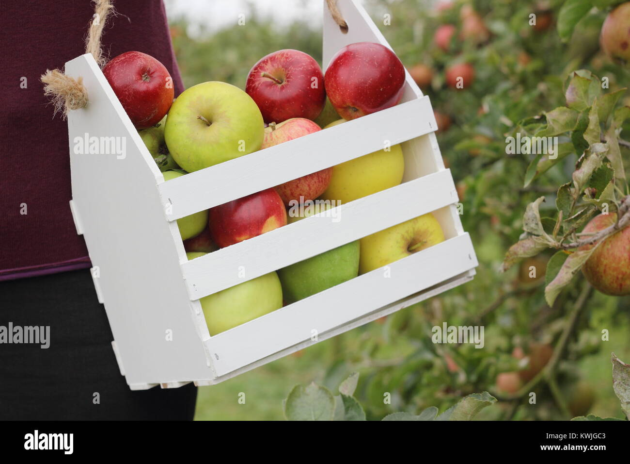 Ripe apples are harvested into a decorative wooden crate by a female in an English orchard, early autumn (October), - Stock Image
