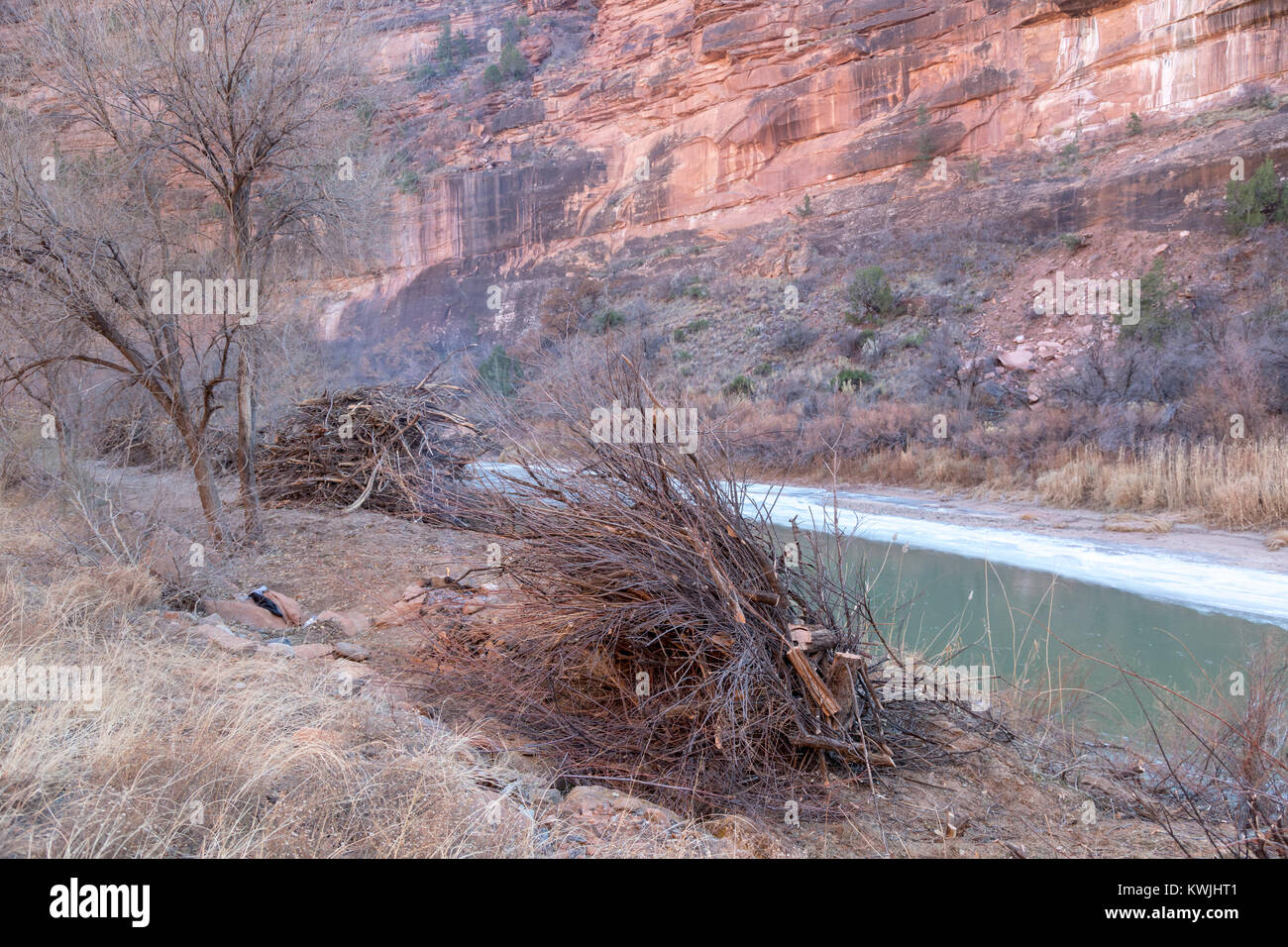 Gateway, Colorado - Piles of invasive tamarisks that have been cut by workers from the Bureau of Land Management - Stock Image