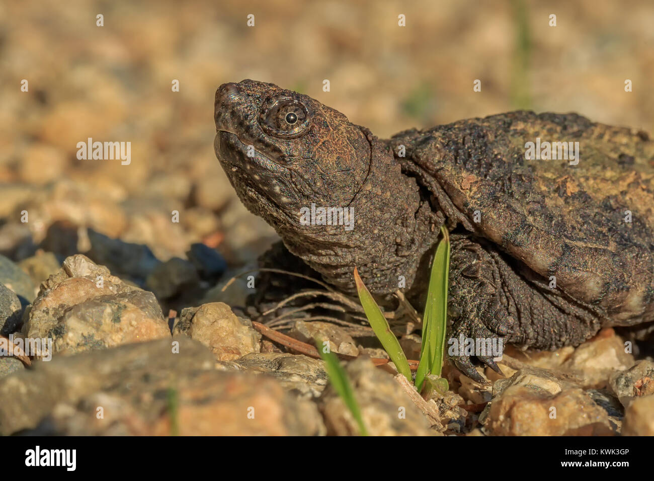 A portrait of a baby Common Snapping Turtle, slightly larger than a half dollar. Stock Photo