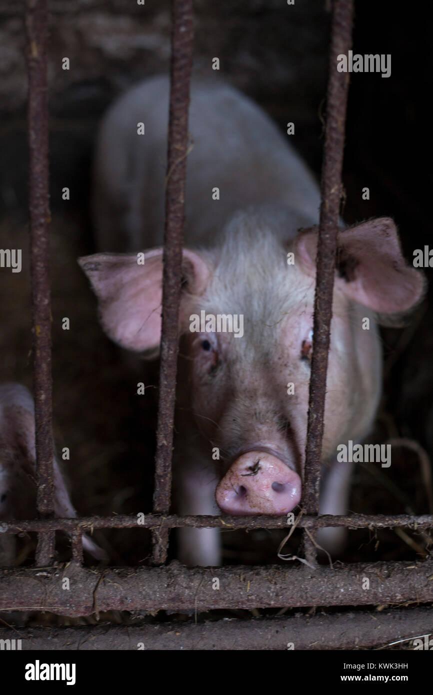 Modern Pig Sty: Pig Breeding Stock Photos & Pig Breeding Stock Images