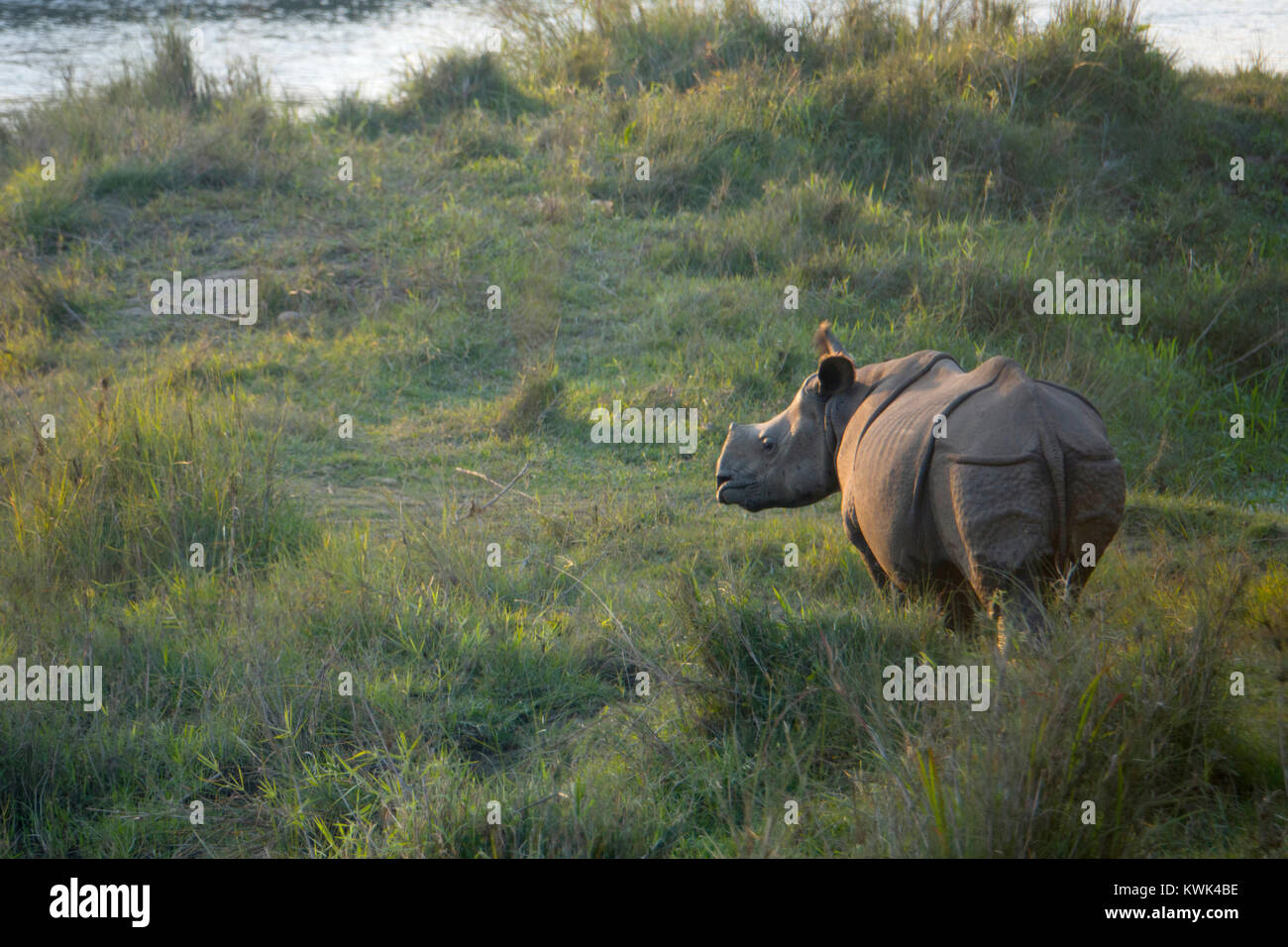 Juvenile greater one-horned rhino (Rhinoceros unicornis) in Chitwan national park, Nepal - Stock Image