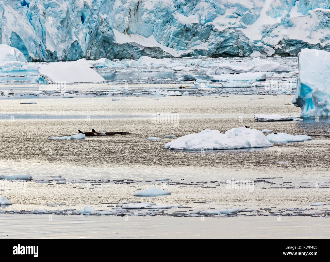 Killer whales; orca; Orcinus orca); whale; oceanic dolphin; Antarctica - Stock Image