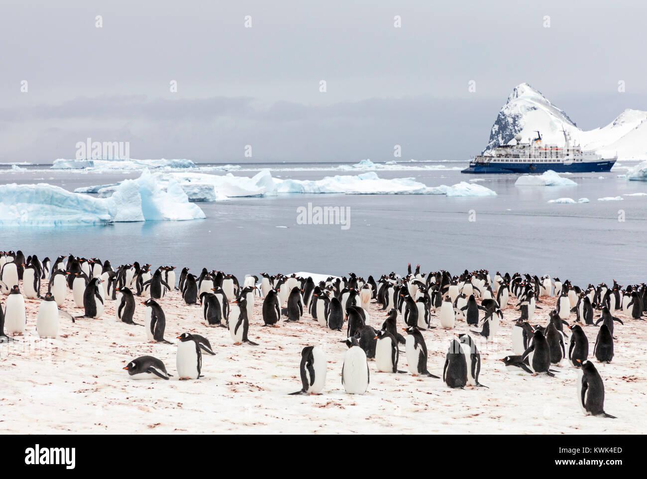 Long-tailed Gentoo penguin; Pygoscelis papua; Cuverville Island; Antarctica; cruise ship Ocean Adventurer beyond - Stock Image