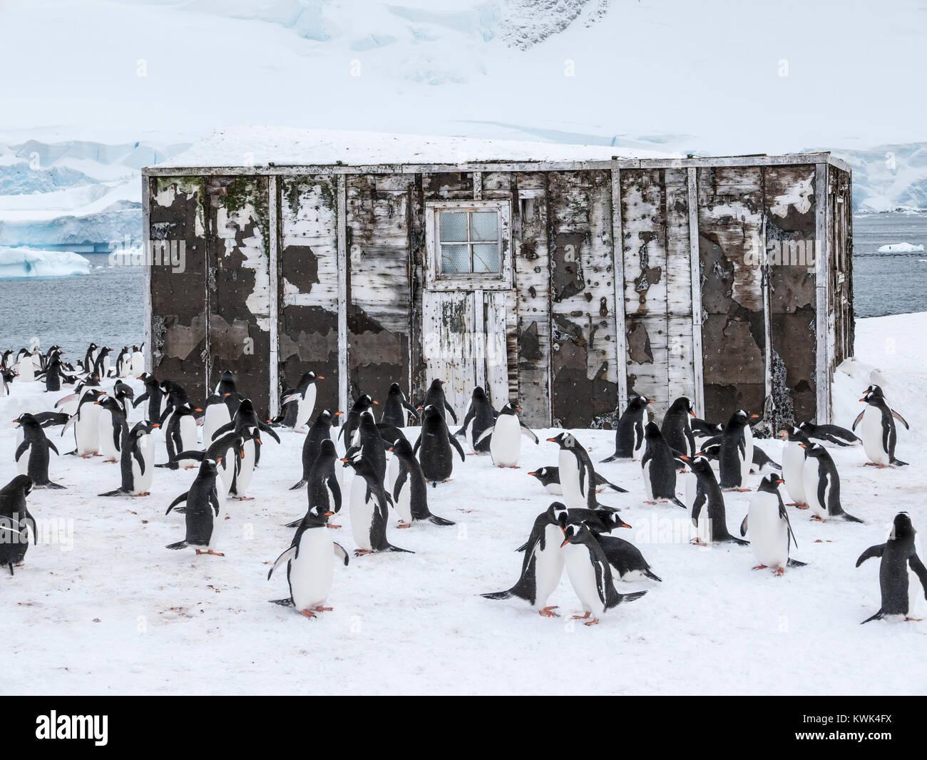 Long-tailed Gentoo penguin; Pygoscelis papua; Chilean Research Center; Antarctica - Stock Image