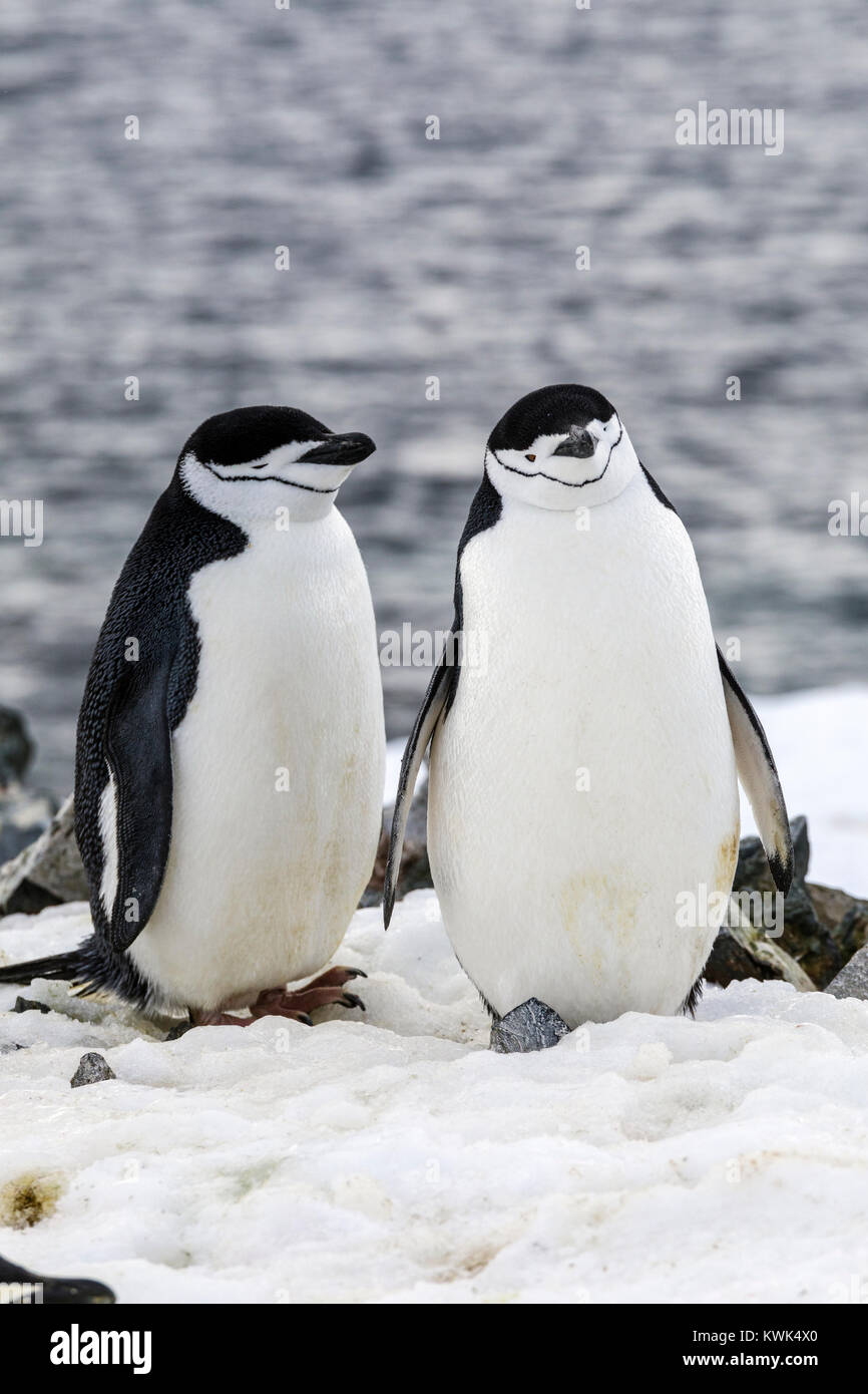 Chinstrap Penguin; Pygoscelis antarcticus; ringed penguin; bearded penguin; stonecracker penguin; Half Moon Island; - Stock Image