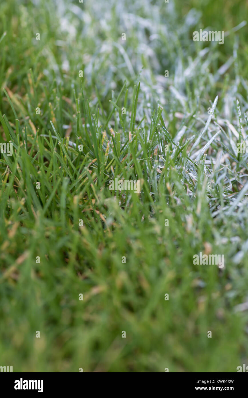 white stripe painted on grass sports field - Stock Image