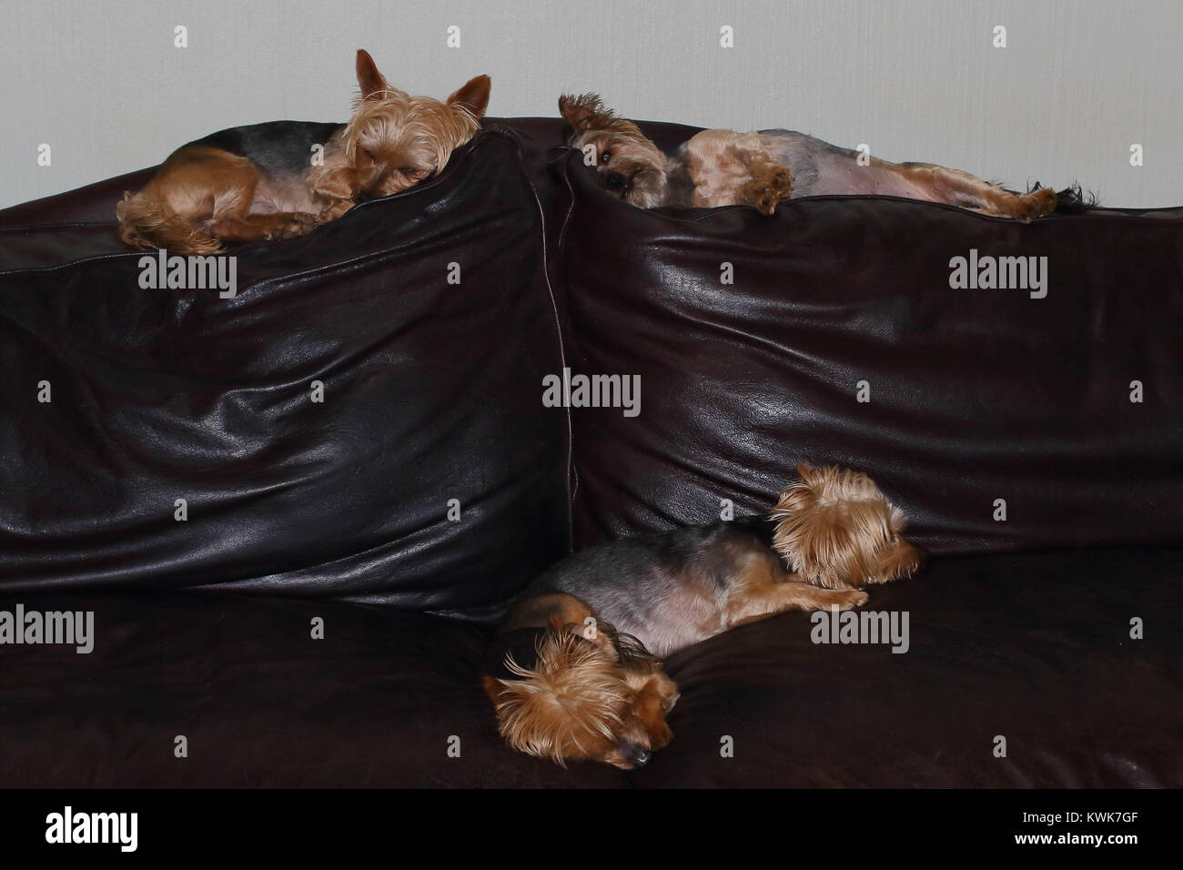 Fine Four Small Brown Dogs Sleep On A Brown Leather Couch Image Forskolin Free Trial Chair Design Images Forskolin Free Trialorg