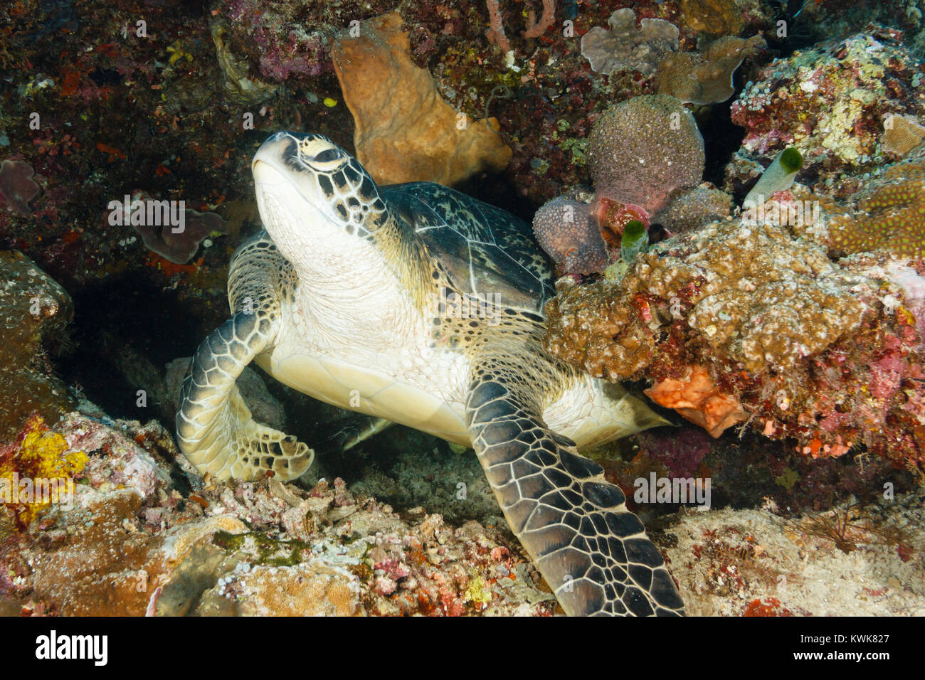 Green turtle (Chelonia mydas) Bunaken National Marine Park in North Sulawesi, Indonesia - Stock Image