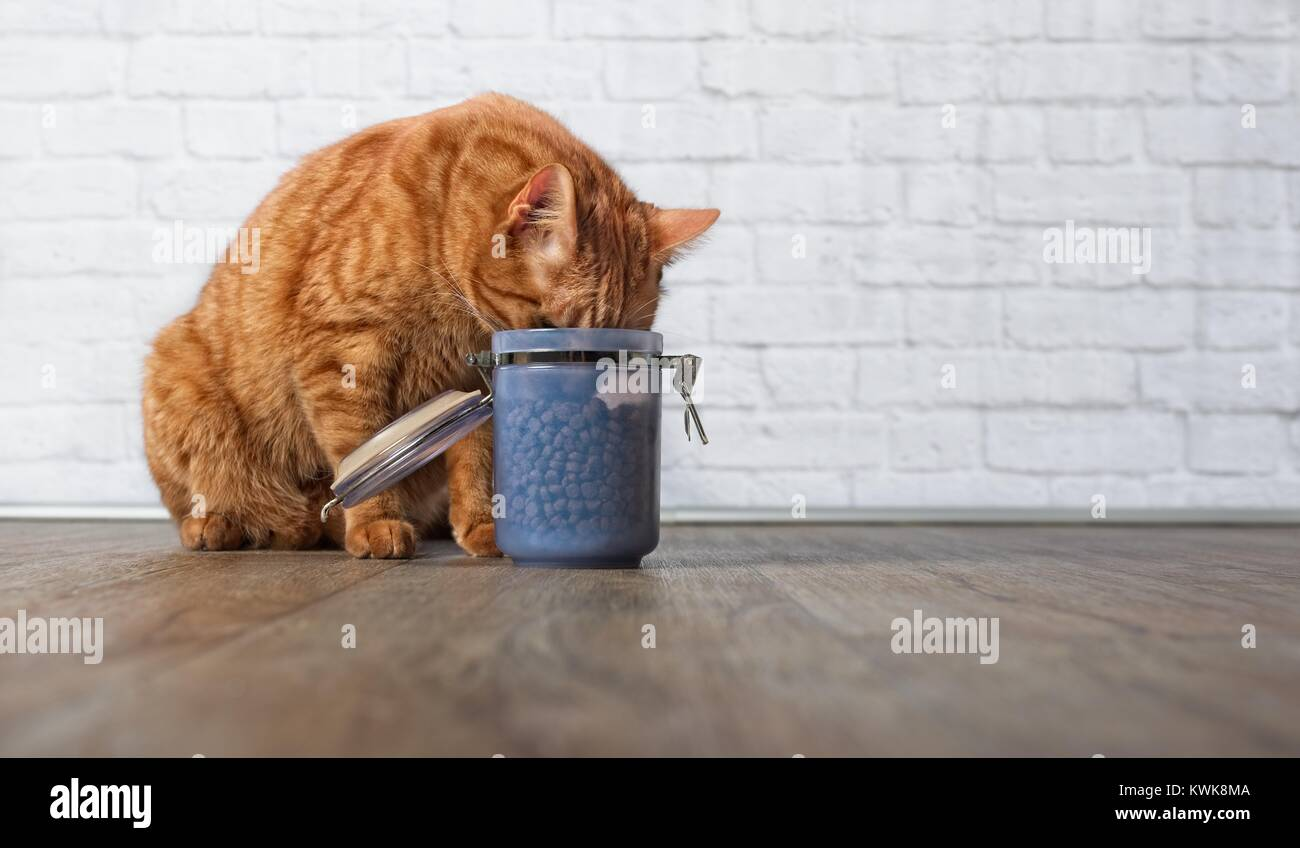 Hungry ginger cat steal food from a food container - Stock Image