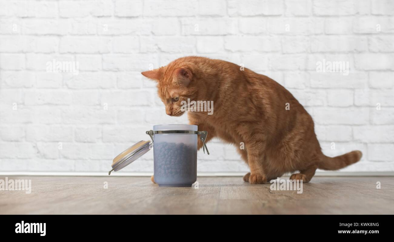 Tabby cat steal dry food from a food container. - Stock Image